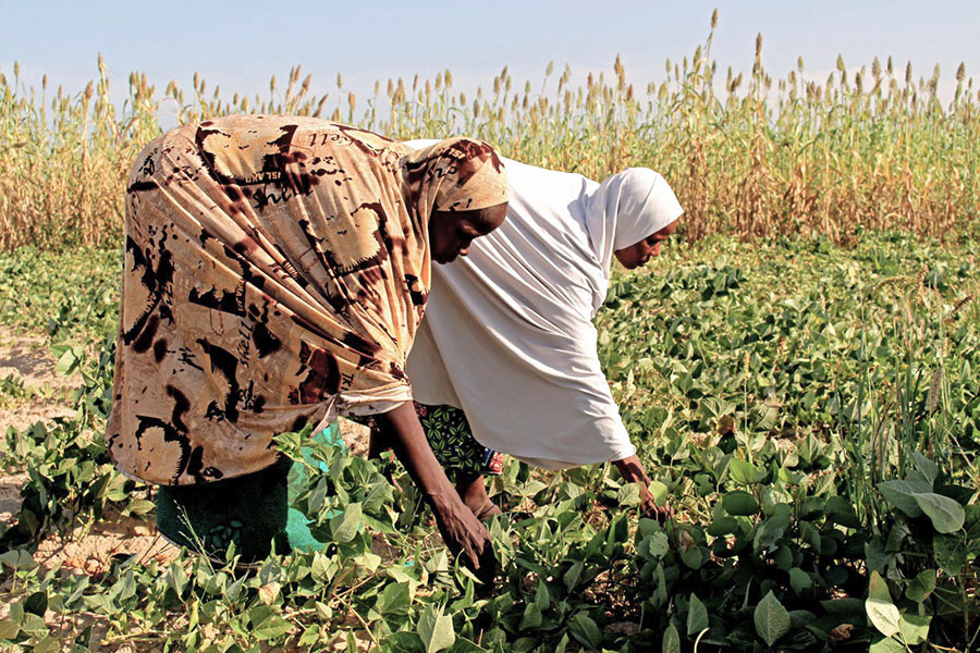 Internally displaced women in a field of cowpea and millet grown with seeds provided by the Food and Agriculture Organization (FAO) during the 2016 rainy season, Maiduguri, Borno State, Nigeria.